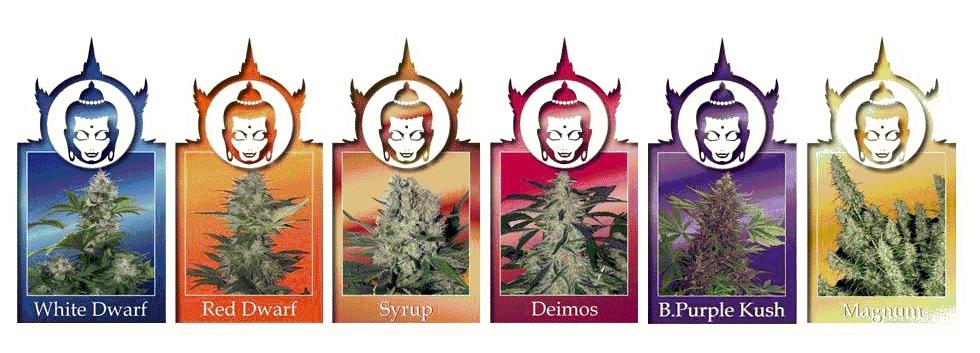 Autoflorecientes Buddha Seeds