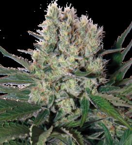 Syrup de Buddha Seeds