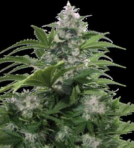 White Dwarf de Buddha Seeds