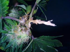 Cogollo afectado por el hongo de Botrytis