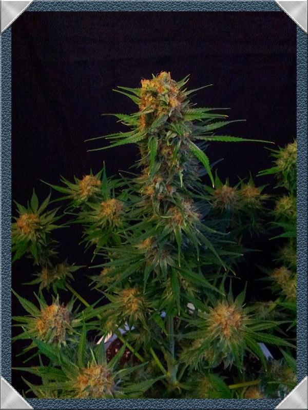 Limpieza de raíces en plantas de marihuana