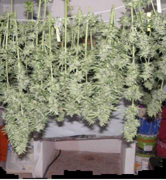 Cómo se realiza el secado de la marihuana