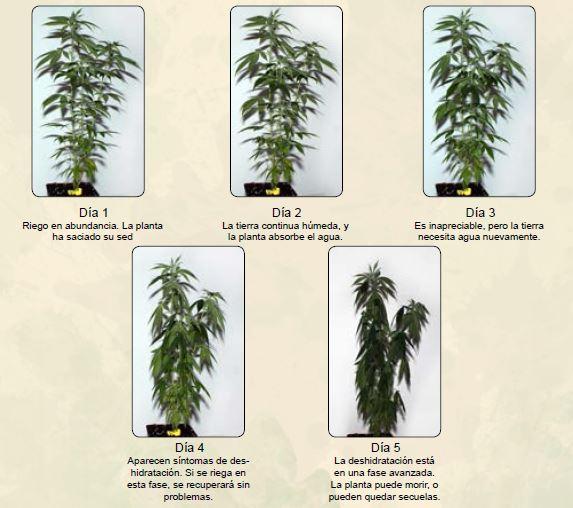 Regar la marihuana