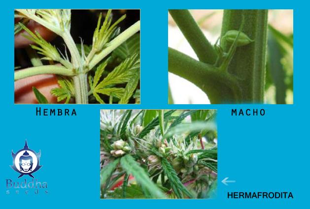 El Sexo del Cannabis 101: Plantas Hermafroditas y de