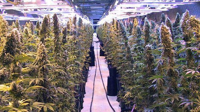 Cultivo marihuana en Colorado