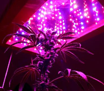 Cultivo de cannabis con focos LED