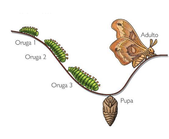 Las fases de crecimiento de la oruga