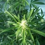 Resultados de cultivo de marihuana con cultivo ecológico
