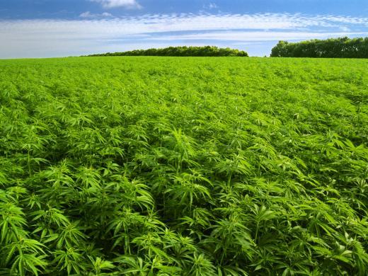 El cultivo ilegal más grande de España fue hallado en Alicante