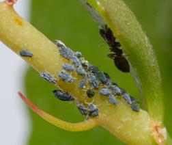 Pulgones y hormigas