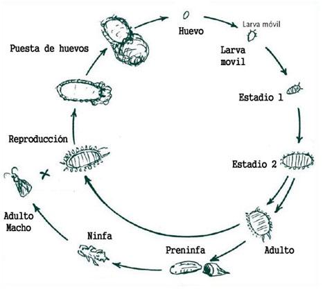 Ciclo de vida cochinillas