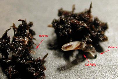 Las larvas de la mosca de la humedad