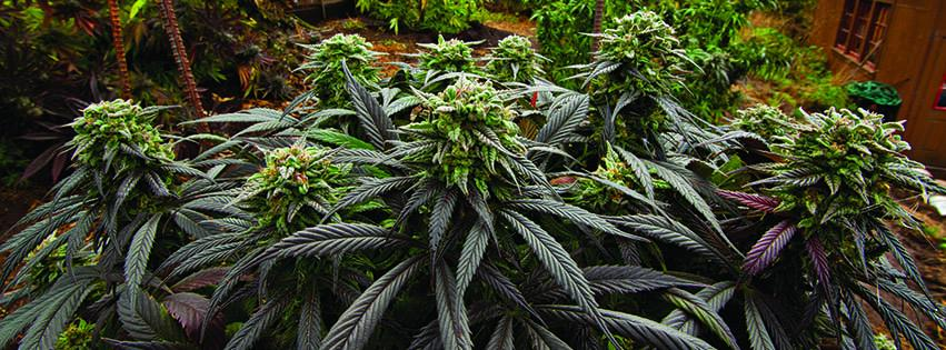 en peligro el jard n de marihuana medicinal de wamm