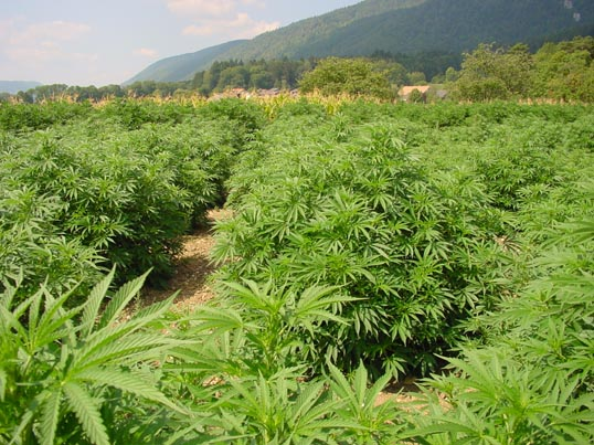 Cultivo de cannabis según el clima