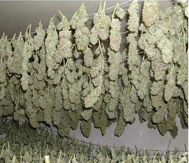 Disposición de secado para aprovechar las hojas de marihuana