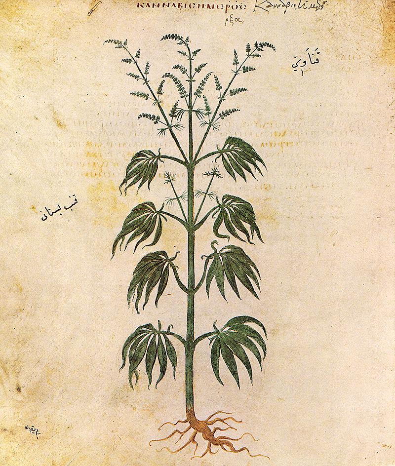 800px-Cannabissativadior