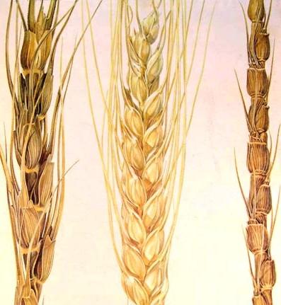 Imagen: Trigo antiguo (derecha) en comparación con el moderno (centro e izquierda).