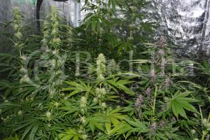 Control de la humedad en cultivos indoor