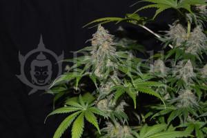 Control de humedad de marihuana