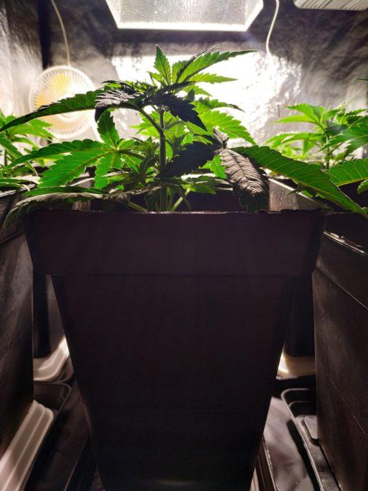 Cultivo en maceta cuadrada de 11 litros