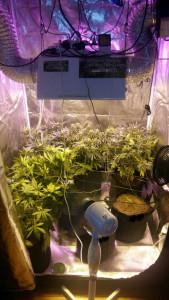 Cultivo de marihuana en un growshop