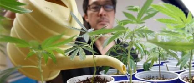 John Hough, empleado del grupo Canna Care, riega plantas de marihuana en un dispensario de cannabis en Sacreamento, California. (AP)