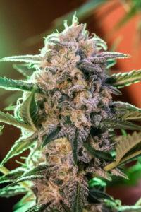Syrup de Buddha Seeds es una de las más rapidas de las variedades cannabis autoflorecientes