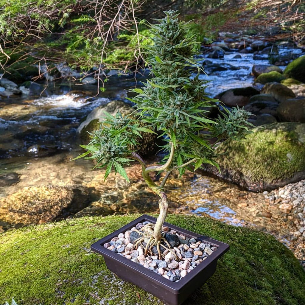Cannabonsai Vesta Buddha Seeds