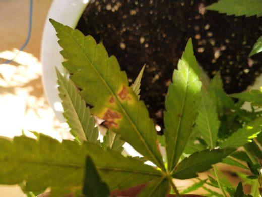 Carencias en hoja de marihuana