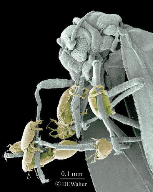 Microácaros desplazándose en la patas de otro insecto