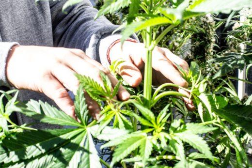 Legalización cannabis medicinal Argentina
