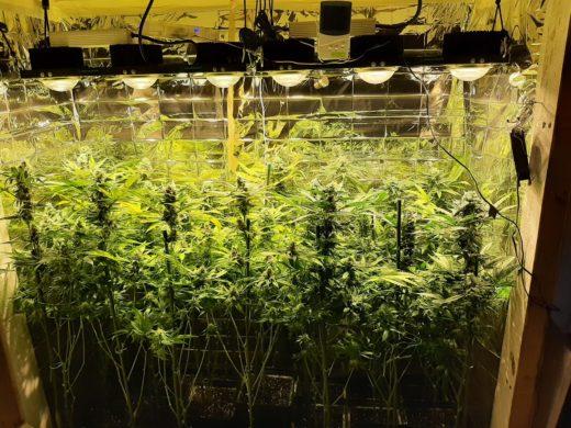 cultivo en sog Buddha Seeds