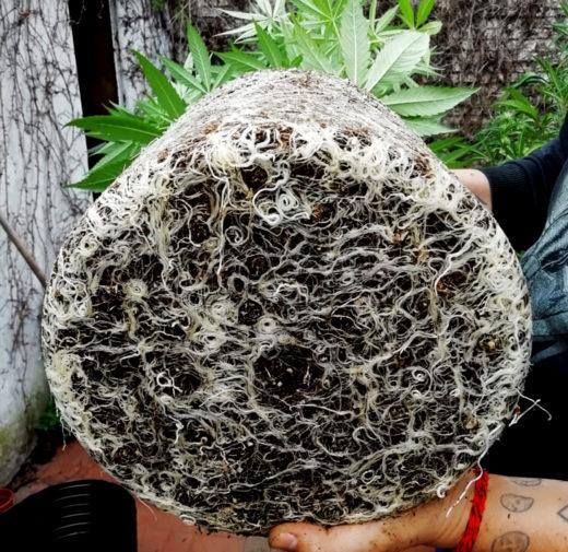 Estimular raíces