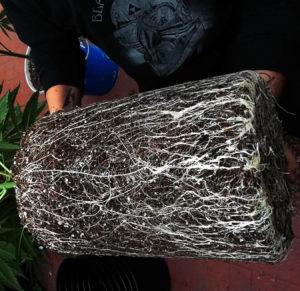 Resultado de estimular las raíces de tus plantas de cannabis