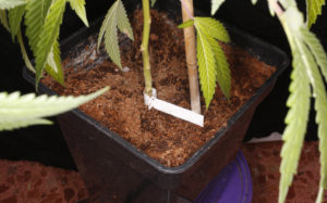 Planta cultivada en fibra de coco