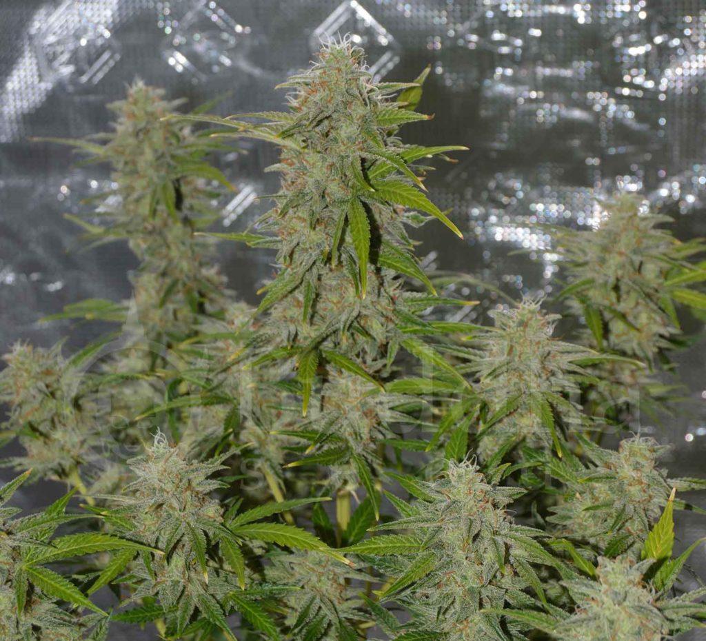 resina en el cannabis