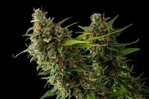 Cannabis para principiantes