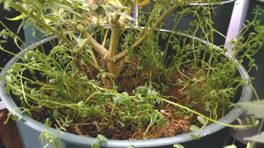 Uso de mulch en los cultivos de cannabis