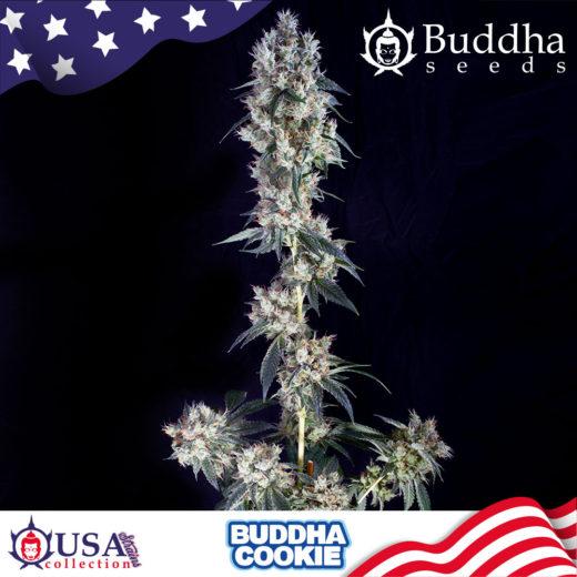 Buddha Cookie de BUddha Seeds
