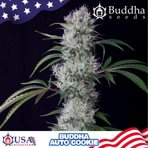 Buddha Auto Cookie de Buddha Seeds