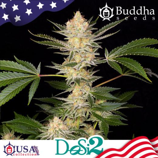 Buddha Do- Si- Dos de Buddha Seeds