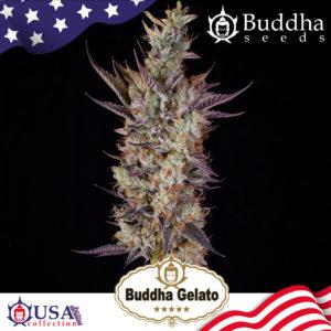 Buddha Gelato de Buddha Seeds
