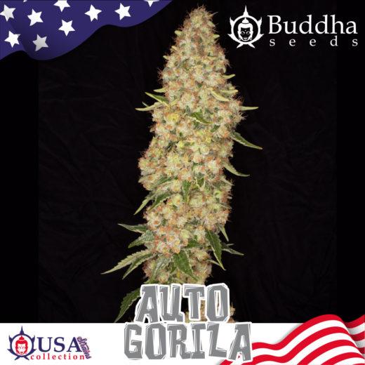 Gorila Auto Buddha Seeds