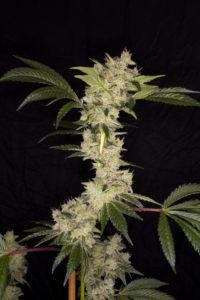 Gorila de Buddha Seeds