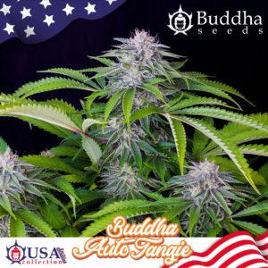 Buddha Auto Tangie de Buddha Seeds