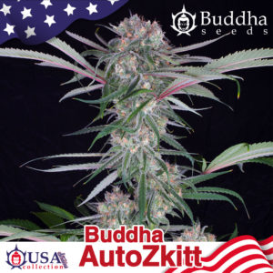 Buddha Auto Zkitt de Buddha Seeds