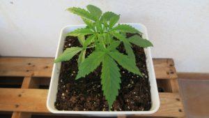 Cultivo de cannabis autofloreciente. 4 semana,