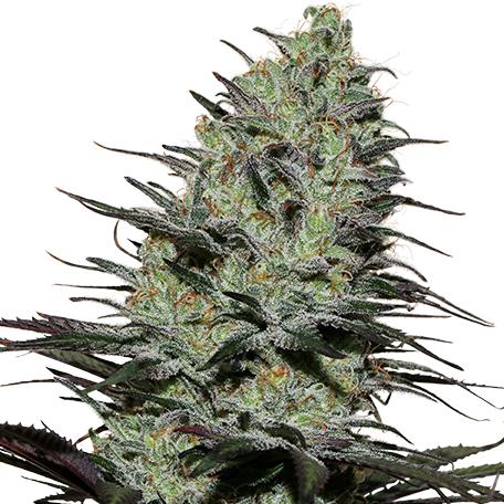 Morpheus de Buddha Seeds