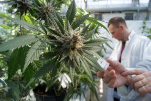 Cannabis medicinal en Italia