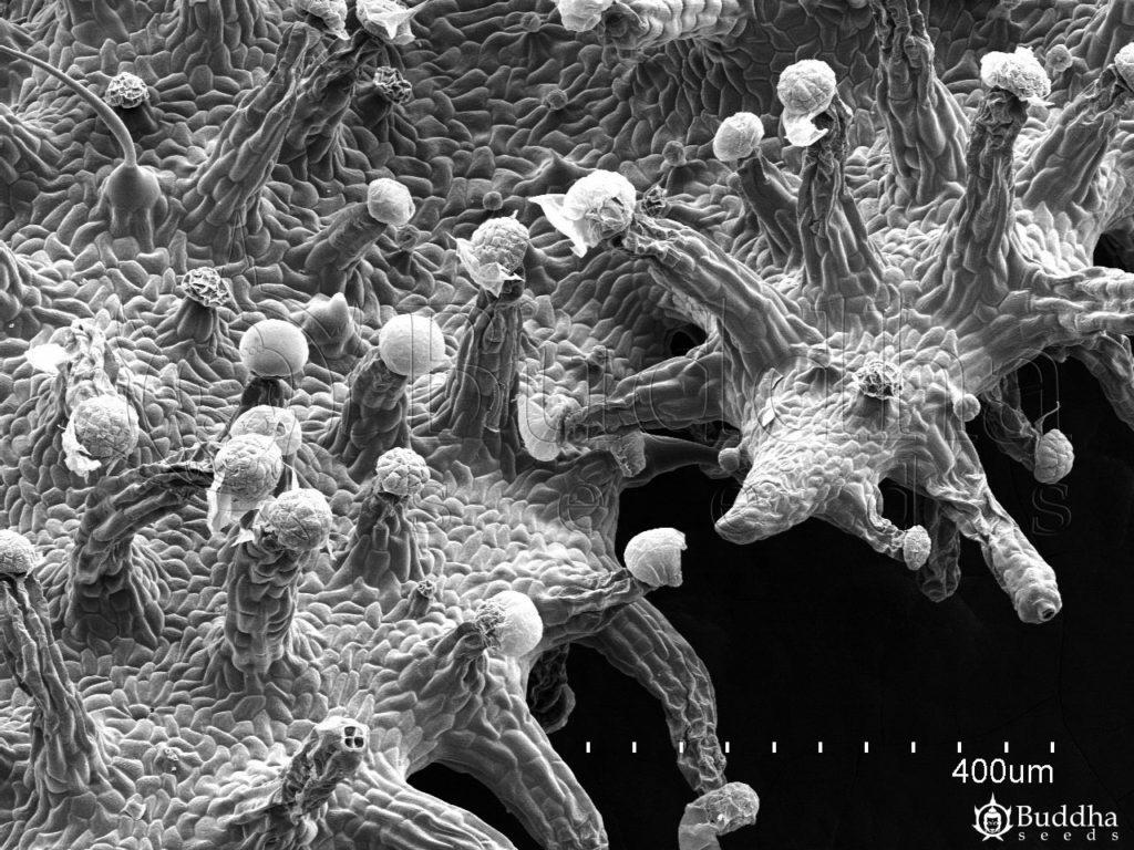 Superficie del borde de una hoja con alta densidad de tricomas glandulares
